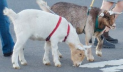 Taking Rusty and Randy for a walk - it does take two people!